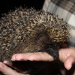 Stock Photo: Young tame hedgehog is in hand