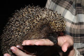 The young tame hedgehog is in hand — Stock Photo