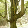 Old green tree in the forest — Stock Photo #12507338