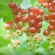 Stock Photo: Some redcurrants