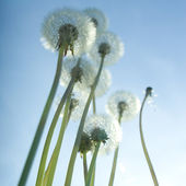 Pusteblume — Stock Photo