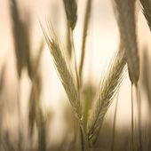Granen veld — Stockfoto