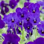 Purple pansies — Stock Photo