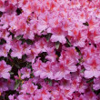 Pink rhododendron — Stock Photo