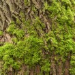 Tree bark with moss — Stock Photo