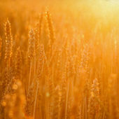 Cornfield in golden sunlight — Stock Photo
