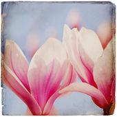 Dreamy magnolia background — Stock Photo