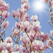 Blue sky with magnolia blossom — Stockfoto #43101217