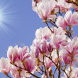 Blue sky with magnolia blossom — Stockfoto #43101305