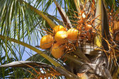Coconuts on a palm tree — Stockfoto