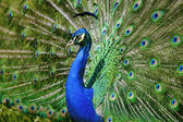 Beautiful peacock spreads his feathers — Stock Photo