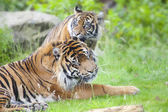 Two tigers together — Stock Photo