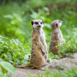 Watchful meerkats — Stock Photo #48486627