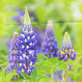 Garden lupin background — Stockfoto