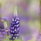 Garden lupin background — Stock Photo