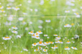 Marguerite meadow background — Stock Photo