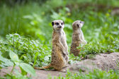 Watchful meerkats — Stock Photo