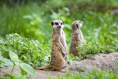 Watchful meerkats — Stock Photo