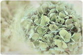 Hydrangea Flower Backround on old, yellowed Paper — Stock Photo