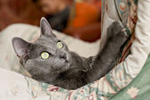 Grey cat — Stock Photo