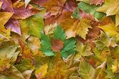 листья в несколько цветов — Стоковое фото