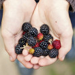 Stock Photo: Ripe blackberries