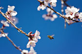 Almond tree and flying bee — Stockfoto