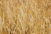 Dry barley — Stockfoto