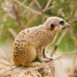 Stock Photo: Portrait of Meerkat sitting on tree trunk at zoo