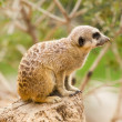 Portrait of a Meerkat sitting on a tree trunk at the zoo — Stock Photo