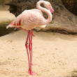Two flamingos — Stock Photo #14695635