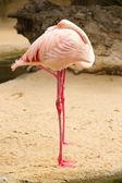 Two flamingos sleeping — Stock Photo