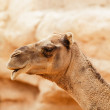 Stock Photo: Portrait of a dromedary. Just head.