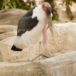 African marabu propped on his elbows — Stock Photo