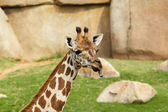 Portrait of a giraffe sticking out his tongue — Stock Photo