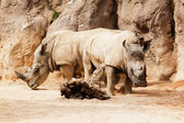 Two rhinos in defense position — Stock Photo