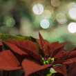 Poinsettia christmas lights in the background — Stock Photo