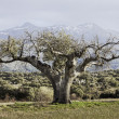 Stock Photo: Centennial oak