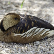 Duck resting in shade — Stock Photo #31993815