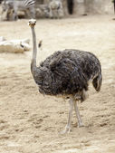 Pštros chůze — Stock fotografie