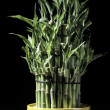 Stock Photo: Potted bamboo stalks