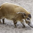 Stock Photo: River pig