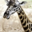 African Giraffe — Stock Photo