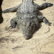 Stock Photo: African crocodile
