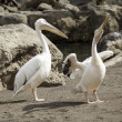 Pelicans in the wild — Stock Photo