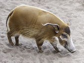 River pig — Stock Photo