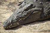 Afrikaanse krokodil — Stockfoto