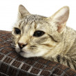 Stock Photo: Domestic cat