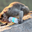 Monkey drinks water from the bottle - Stock Photo