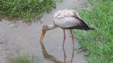 Stork walks — Stockvideo
